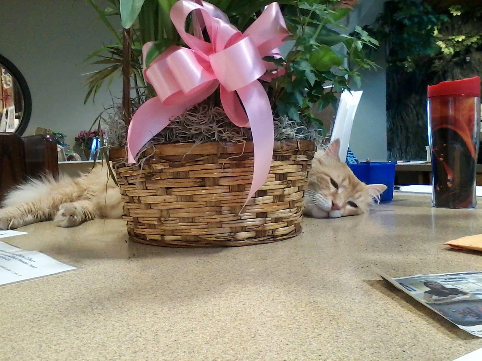 Crash Gato sleeping behind a plant